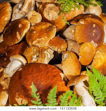 Big pile of fresh porcini mushrooms before cooking, decorated with green fern on a black background, square