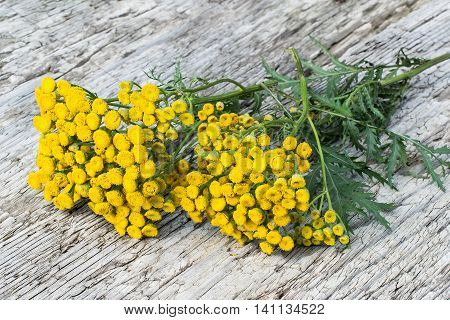 Medicinal plant tansy (Tanacetum vulgare) on old wooden table. It is used in herbal medicine pharmaceutical food and chemical industry