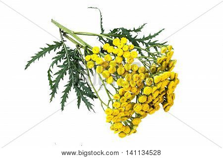 Medicinal plant tansy (Tanacetum vulgare) isolated on a white background. It is used in herbal medicine pharmaceutical food and chemical industry