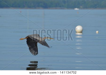 Great blue heron in flight and reflected in the ocean.