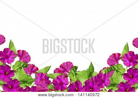 Autumn beautiful colorful morning glory flowers isolated on white background