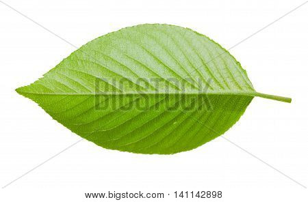 Leaf Of Cherry Blossom (sakura) Tree Isolated On White
