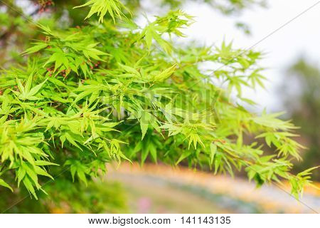 Green Maple Leaves In Nature Background.