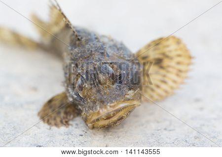 Black scorpionfish Scorpaena porcus. Wild life animal.