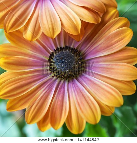 An Osteospermum daisy flower with distinctive peach-yellow and pink-mauve colored petals.