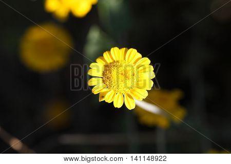 Flower of a golden marguerite (Cota tinctoria).