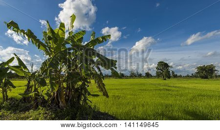 Native Banana Trees And Plants Surviving Surrounded By Farmland And Rice Fields.