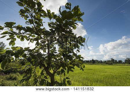 Green Rice Fields Showing Surviving Native Trees With Blue Sky And White Clouds In Background
