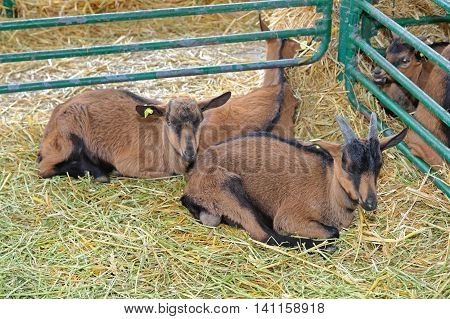 Brown Goats Laying in Pen at Farm