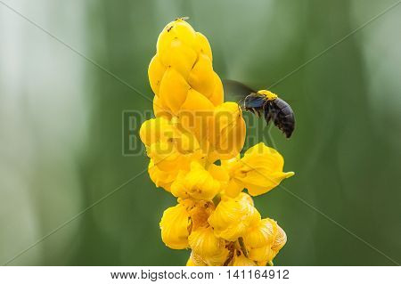 The Ringworm Bush yellow flowers from natural