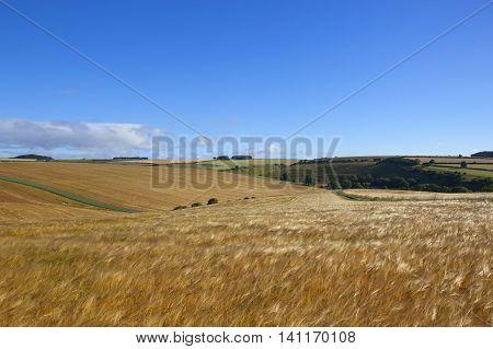 Flowing Barley Crop In Summer
