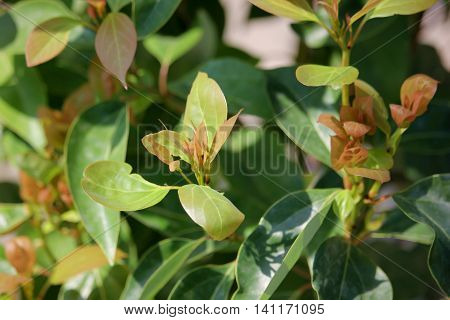 Close up Leaf of Cinnamomum camphora tree