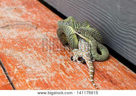 The Golden Tree Snake (Chrysopelea ornata) is eating Gecko Calling gecko Tropical asian gecko.