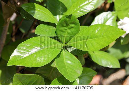Leaf Of Gardenia Jasminoides Flower