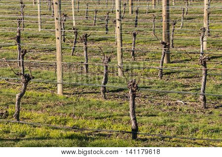 vineyard with pruned grape vines after harvest