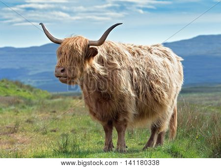 Highlander Cow on Colourful Blurry Mountainous Background