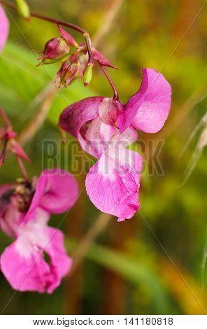 close photo of purple blooms of Impatiens glandulifera
