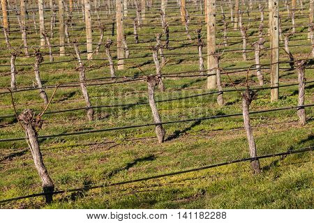 closeup of pruned grapevine in vineyard in springtime