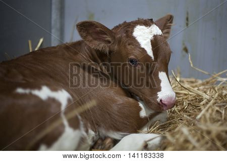 young brown or red calf oin straw of barn looks into camera