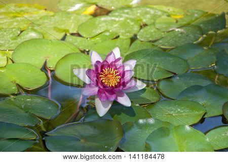 Water lily. Photo taken in Cecilio Rodriguez Gardens Retiro Park Madrid Spain.