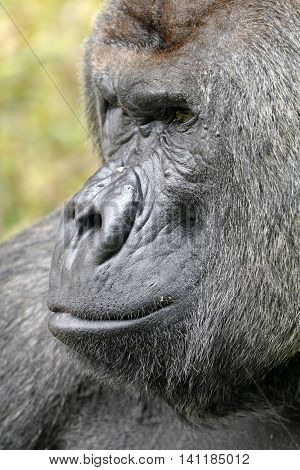 Silverback gorilla face with a green background