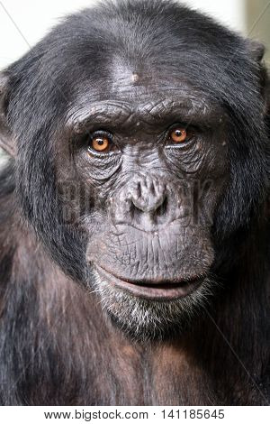 A young male strong leader chimpanzee portrait