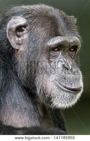 A female Chimpanzee portrait with a neutral background