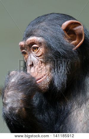 A young Chimpanzee portrait with a neutral background