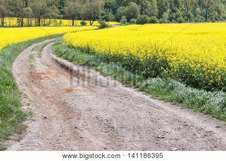 Rape field - Poland. Spring day on farm.