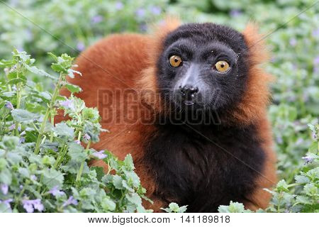 A red lemur is sitting in the middle of a green flower bed