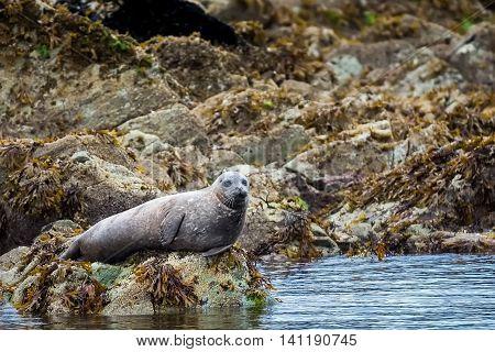 Spotted adult harbor resting on a rock shore near Ketchikan Alaska