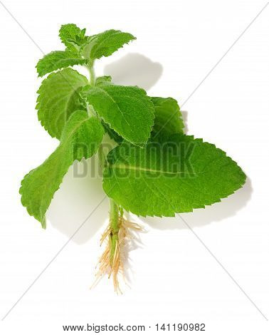 mint cutting (mentha) isolated over white background
