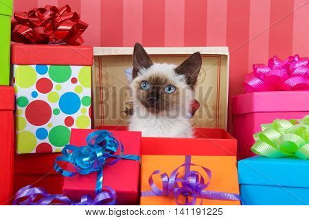 Siamese kitten with blue eyes in red christmas present box ribbons and bows on presents around her on a red striped background looking at viewer. copy space