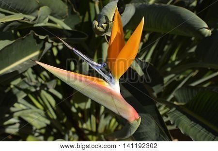 Bird of Paradise flower (Strelitzia reginae) in Madeira Portugal