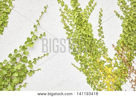 Ivy leaves on a white porous wall.