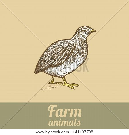 Bird quail. Vector illustration of a series - farm birds isolated. Poultry colored print. Style vintage engraving. Template for creating packaging design farm products and signage natural food stores.