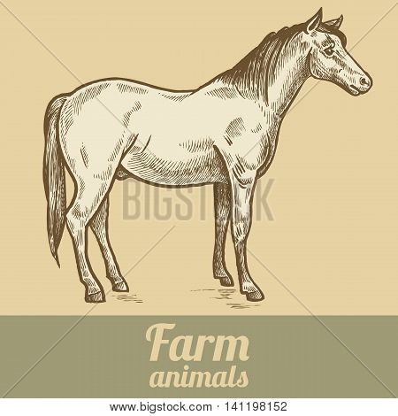 Farm animal horse. Colored print. Style vintage engraving. Vector illustration of a series - farm animals isolated. Template for creating packaging design farm products signage natural food stores.