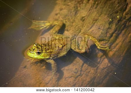 Green frog in the water view from above