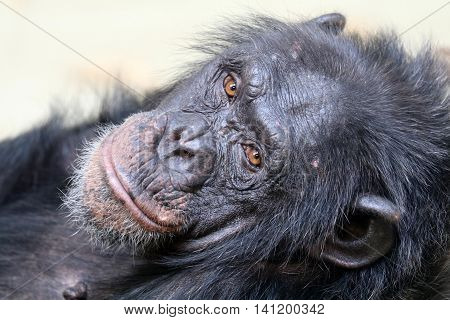 Portrait of a lying chimpanzee with a white background