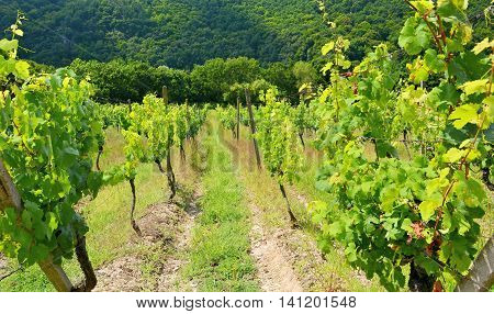 Sobes Moravian Vineyard