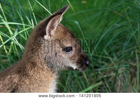 A close up of a Wallaby in the grass