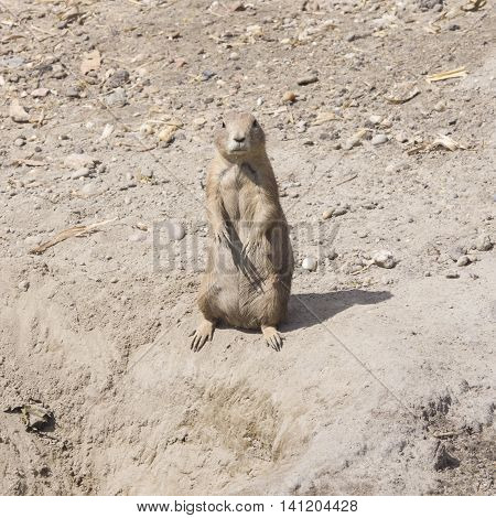 European Souslik or Ground Squirrel Spermophilus citellus stand on dry ground, close-up portrait, selective focus, shallow DOF