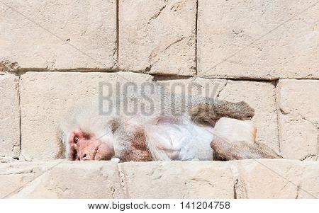 Adult Male Baboon Sleeping