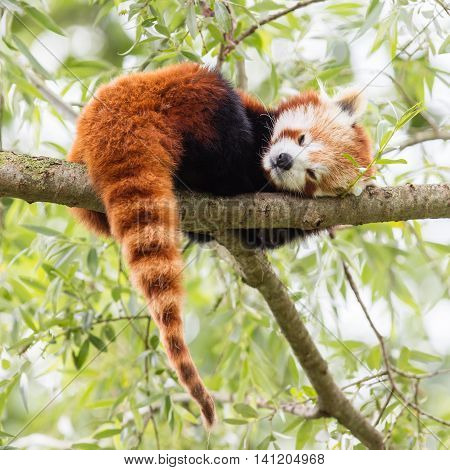 Red Panda, Firefox Or Lesser Panda