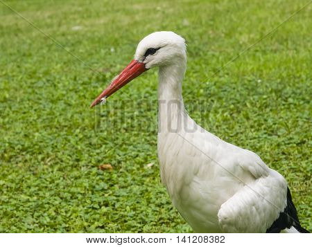 White Stork Ciconia Ciconia close-up portrait with defocused background selective focus shallow DOF