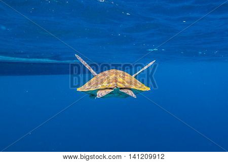 Back of green turtle, Chelonia mydas, swimming in blue water at the Similan Islands in Thailand, Andaman Sea.