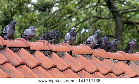 Pigeons sitting in a row on the roof