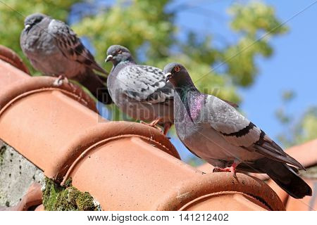 Pigeons sitting on the roof with trees in the background