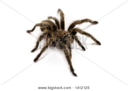 Tarantula Spider (White Background)
