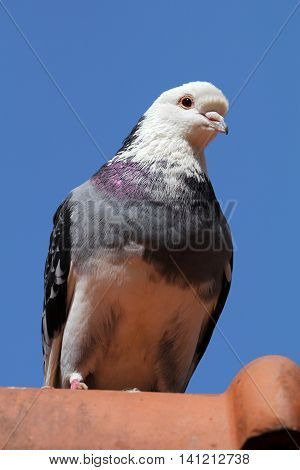 Pigeon sitting on the roof with a clear blue sky